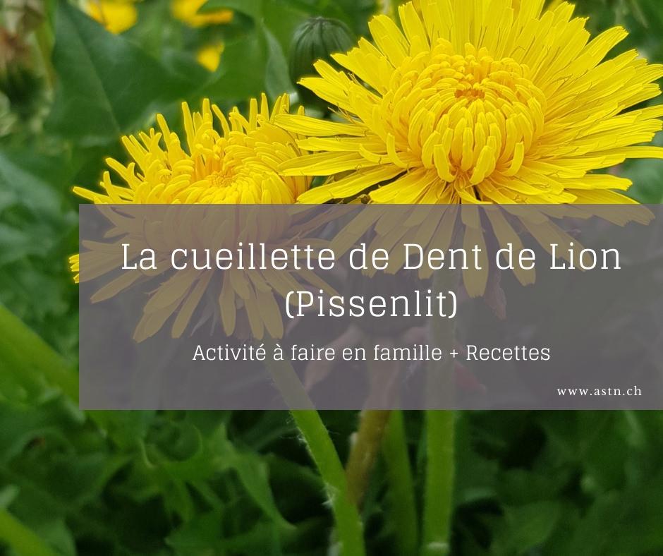 La cueillette de la Dent de Lion / Pissentlit